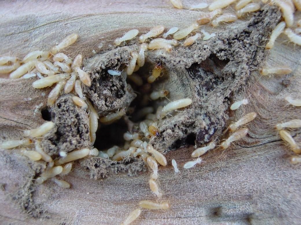 traitement des termites par pieges